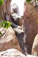 Lion - Kilimanjaro Safari - Animal Kingdom